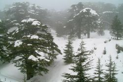 파일:external/upload.wikimedia.org/Cedars_under_the_snow.jpg