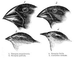 파일:external/upload.wikimedia.org/Darwin's_finches_by_Gould.jpg